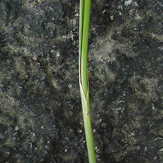 Leaves and auricles: Cladium mariscoides. ~ By Jill Weber. ~ Copyright © 2021 Jill Weber. ~ jillweber03[at]gmail.com