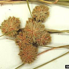 Inflorescences: Cyperus acuminatus. ~ By Charles Bryson. ~ Copyright © 2021 CC BY-NC 3.0. ~  ~ Bugwood - www.bugwood.org/