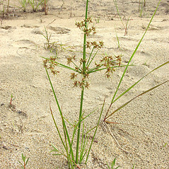 Plant form: Cyperus dentatus. ~ By Glen Mittelhauser. ~ Copyright © 2021 Glen Mittelhauser. ~ www.mainenaturalhistory.org