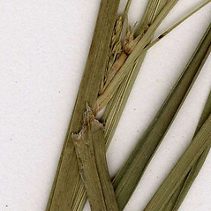 Stems and sheaths: Cyperus dentatus. ~ By CONN Herbarium. ~ Copyright © 2020 CONN Herbarium. ~ Requests for image use not currently accepted by copyright holder ~ U. of Connecticut Herbarium - bgbaseserver.eeb.uconn.edu/