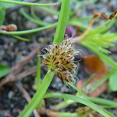 Inflorescences: Cyperus diandrus. ~ By Arthur Haines. ~ Copyright © 2020. ~ arthurhaines[at]wildblue.net