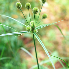 Inflorescences: Cyperus echinatus. ~ By Charles Bryson. ~ Copyright © 2020 CC BY-NC 3.0. ~  ~ Bugwood - www.bugwood.org/