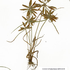 Plant form: Cyperus filicinus. ~ By CONN Herbarium. ~ Copyright © 2020 CONN Herbarium. ~ Requests for image use not currently accepted by copyright holder ~ U. of Connecticut Herbarium - bgbaseserver.eeb.uconn.edu/