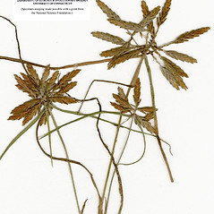 Inflorescences: Cyperus filicinus. ~ By CONN Herbarium. ~ Copyright © 2020 CONN Herbarium. ~ Requests for image use not currently accepted by copyright holder ~ U. of Connecticut Herbarium - bgbaseserver.eeb.uconn.edu/