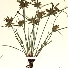 Plant form: Cyperus flavescens. ~ By Steve Matson. ~ Copyright © 2021 Steve Matson. ~ No permission needed for non-commercial, educational uses, with proper credit ~ CalPhotos - calphotos.berkeley.edu/flora/