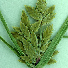 Inflorescences: Cyperus flavescens. ~ By Steve Matson. ~ Copyright © 2021 Steve Matson. ~ No permission needed for non-commercial, educational uses, with proper credit ~ CalPhotos - calphotos.berkeley.edu/flora/