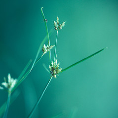 Flowers and fruits: Cyperus houghtonii. ~ By William Larkin. ~ Copyright © 2021 New England Wild Flower Society. ~ Image Request, images[at]newenglandwild.org