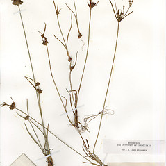 Plant form: Cyperus houghtonii. ~ By CONN Herbarium. ~ Copyright © 2020 CONN Herbarium. ~ Requests for image use not currently accepted by copyright holder ~ U. of Connecticut Herbarium - bgbaseserver.eeb.uconn.edu/