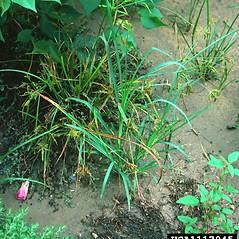 Plant form: Cyperus iria. ~ By Charles Bryson. ~ Copyright © 2020 CC BY-NC 3.0. ~  ~ Bugwood - www.bugwood.org/