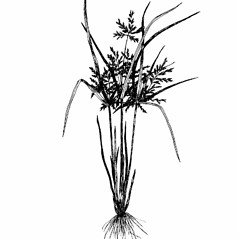 Leaves and auricles: Cyperus iria. ~ By Southern Illinois University Press. ~ Copyright © 2021 Southern Illinois University Press. ~ Requests for image use not currently accepted by copyright holder ~ Southern Illinois U. Press