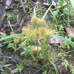 Plant form: Cyperus odoratus. ~ By Bruce Patterson. ~ Copyright © 2021 Bruce Patterson. ~ foxpatterson[at]comcast.net