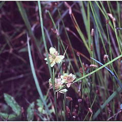 Inflorescences: Cyperus pseudovegetus. ~ By Robert H. Mohlenbrock. ~  Public Domain. ~  ~ USDA-NRCS PLANTS Database / USDA SCS. 1989. Midwest wetland flora: Field office illustrated guide to plant species. Midwest National Technical Center, Lincoln
