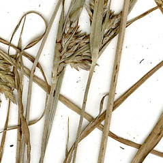 Stems and sheaths: Cyperus schweinitzii. ~ By CONN Herbarium. ~ Copyright © 2021 CONN Herbarium. ~ Requests for image use not currently accepted by copyright holder ~ U. of Connecticut Herbarium - bgbaseserver.eeb.uconn.edu/