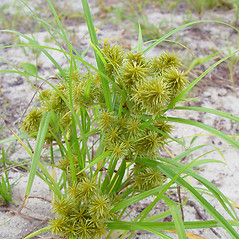 Plant form: Cyperus strigosus. ~ By Arthur Haines. ~ Copyright © 2021. ~ arthurhaines[at]wildblue.net