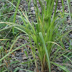 Leaves and auricles: Cyperus strigosus. ~ By Arieh Tal. ~ Copyright © 2021 Arieh Tal. ~ http://botphoto.com/ ~ Arieh Tal - botphoto.com