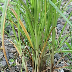 Stems and sheaths: Cyperus strigosus. ~ By Arieh Tal. ~ Copyright © 2021 Arieh Tal. ~ www.nttlphoto.com ~ Arieh Tal - www.nttlphoto.com