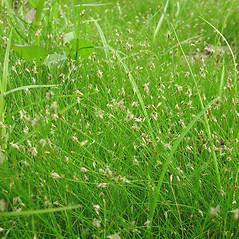 Plant form: Eleocharis acicularis. ~ By Glen Mittelhauser. ~ Copyright © 2020 Glen Mittelhauser. ~ www.mainenaturalhistory.org
