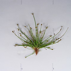 Plant form: Eleocharis aestuum. ~ By Donald Cameron. ~ Copyright © 2020 Donald Cameron. ~ No permission needed for non-commercial uses, with proper credit