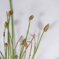 Inflorescences: Eleocharis aestuum. ~ By Donald Cameron. ~ Copyright © 2020 Donald Cameron. ~ No permission needed for non-commercial uses, with proper credit