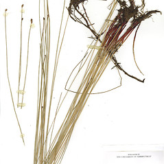 Plant form: Eleocharis ambigens. ~ By CONN Herbarium. ~ Copyright © 2020 CONN Herbarium. ~ Requests for image use not currently accepted by copyright holder ~ U. of Connecticut Herbarium - bgbaseserver.eeb.uconn.edu/