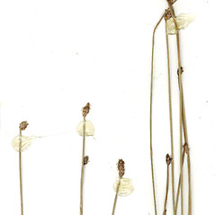 Inflorescences: Eleocharis ambigens. ~ By CONN Herbarium. ~ Copyright © 2020 CONN Herbarium. ~ Requests for image use not currently accepted by copyright holder ~ U. of Connecticut Herbarium - bgbaseserver.eeb.uconn.edu/