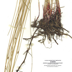 Stems and sheaths: Eleocharis ambigens. ~ By CONN Herbarium. ~ Copyright © 2020 CONN Herbarium. ~ Requests for image use not currently accepted by copyright holder ~ U. of Connecticut Herbarium - bgbaseserver.eeb.uconn.edu/