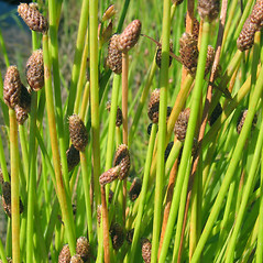 Inflorescences: Eleocharis obtusa. ~ By Marilee Lovit. ~ Copyright © 2021 Marilee Lovit. ~ lovitm[at]gmail.com
