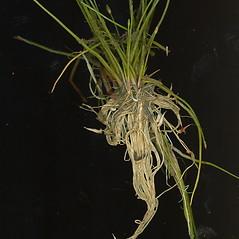 Plant form: Eleocharis parvula. ~ By Glen Mittelhauser. ~ Copyright © 2020 Glen Mittelhauser. ~ www.mainenaturalhistory.org