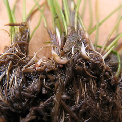 Stems and sheaths: Eleocharis parvula. ~ By Marilee Lovit. ~ Copyright © 2020 Marilee Lovit. ~ lovitm[at]gmail.com