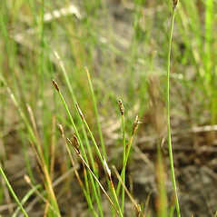 Inflorescences: Eleocharis quinqueflora. ~ By Glen Mittelhauser. ~ Copyright © 2020 Glen Mittelhauser. ~ www.mainenaturalhistory.org