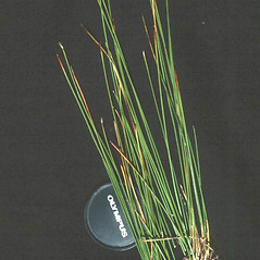 Stems and sheaths: Eleocharis quinqueflora. ~ By Bud Kovalchik. ~ Copyright © 2020 Bud Kovalchik. ~ bkovalchik7[at]gmail.com ~ U. of Washington - WTU - Herbarium - biology.burke.washington.edu/herbarium/imagecollection.php