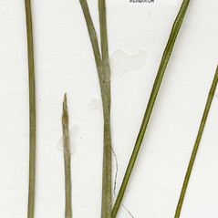 Stems and sheaths: Eleocharis robbinsii. ~ By CONN Herbarium. ~ Copyright © 2020 CONN Herbarium. ~ Requests for image use not currently accepted by copyright holder ~ U. of Connecticut Herbarium - bgbaseserver.eeb.uconn.edu/