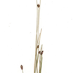 Inflorescences: Eleocharis tricostata. ~ By CONN Herbarium. ~ Copyright © 2020 CONN Herbarium. ~ Requests for image use not currently accepted by copyright holder ~ U. of Connecticut Herbarium - bgbaseserver.eeb.uconn.edu/