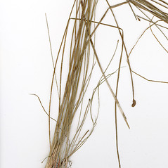 Leaves and auricles: Eleocharis tricostata. ~ By CONN Herbarium. ~ Copyright © 2021 CONN Herbarium. ~ Requests for image use not currently accepted by copyright holder ~ U. of Connecticut Herbarium - bgbaseserver.eeb.uconn.edu/