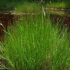 Plant form: Eleocharis uniglumis. ~ By Glen Mittelhauser. ~ Copyright © 2021 Glen Mittelhauser. ~ www.mainenaturalhistory.org