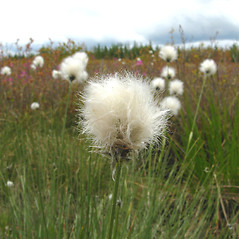 Flowers and fruits: Eriophorum vaginatum. ~ By Donna Kausen. ~ Copyright © 2020 Donna Kausen. ~ 33 Bears Den, Addison, ME 04606