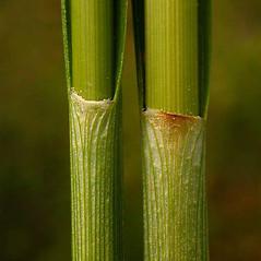 Leaves and auricles: Eriophorum virginicum. ~ By Ben Legler. ~ Copyright © 2020 Ben Legler. ~ mountainmarmot[at]hotmail.com ~ U. of Washington - WTU - Herbarium - biology.burke.washington.edu/herbarium/imagecollection.php