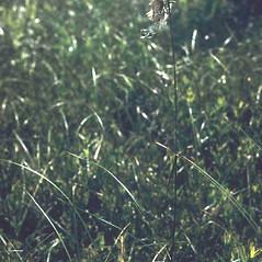 Plant form: Eriophorum viridicarinatum. ~ By C. Barre Hellquist. ~ Copyright © 2019 C. Barre Hellquist. ~ C.Barre.Hellquist[at]mcla.edu ~ U. of New Hampshire