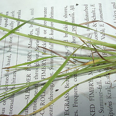 Leaves and auricles: Fimbristylis autumnalis. ~ By John Bradford and George Rogers. ~ Copyright © 2020 John Bradford and George Rogers. ~ George Rogers: rogersg[at]palmbeachstate.edu, 561-207-5052  ~ floridagrasses.org/index.htm
