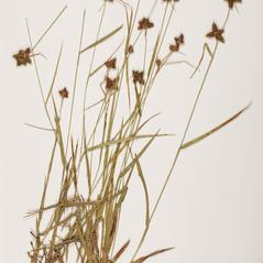 Plant form: Fuirena squarrosa. ~ By Troy University Herbarium. ~ Copyright © 2020. ~ Brian Keener, bkeener[at]uwa.edu ~ Troy U. Herbarium