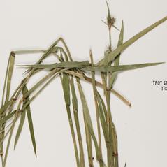 Leaves and auricles: Fuirena squarrosa. ~ By Troy University Herbarium. ~ Copyright © 2020. ~ Brian Keener, bkeener[at]uwa.edu ~ Troy U. Herbarium