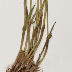 Stems and sheaths: Fuirena squarrosa. ~ By Troy University Herbarium. ~ Copyright © 2020. ~ Brian Keener, bkeener[at]uwa.edu ~ Troy U. Herbarium