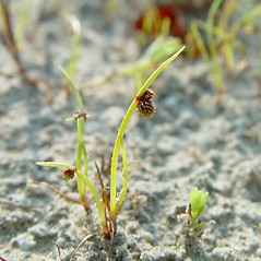 Plant form: Lipocarpha micrantha. ~ By Arthur Haines. ~ Copyright © 2021. ~ arthurhaines[at]wildblue.net