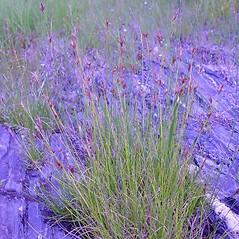 Plant form: Rhynchospora capillacea. ~ By Arthur Haines. ~ Copyright © 2020. ~ arthurhaines[at]wildblue.net