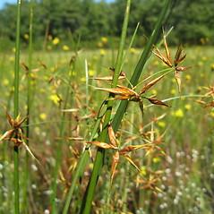 Flowers and fruits: Rhynchospora inundata. ~ By Jennifer Garrett. ~ Copyright © 2020 Jennifer Garrett. ~ gemmiferg[at]gmail.com