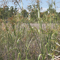 Plant form: Rhynchospora inundata. ~ By John Bradford and George Rogers. ~ Copyright © 2020 John Bradford and George Rogers. ~ George Rogers: rogersg[at]palmbeachstate.edu, 561-207-5052  ~ floridagrasses.org/index.htm