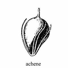 Flowers and fruits: Schoenoplectus etuberculatus. ~ By Julian A. Steyermark. ~ Copyright © 2019. ~ Allison Brock, Allison.Brock[at]mobot.org ~ Steyermark, Julian A. 1963. The Flora of Missouri. The Iowa State U. Press, Ames, IA. 1725pp.