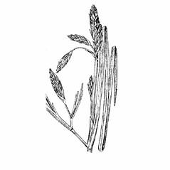 Inflorescences: Schoenoplectus etuberculatus. ~ By Julian A. Steyermark. ~ Copyright © 2020. ~ Allison Brock, Allison.Brock[at]mobot.org ~ Steyermark, Julian A. 1963. The Flora of Missouri. The Iowa State U. Press, Ames, IA. 1725pp.