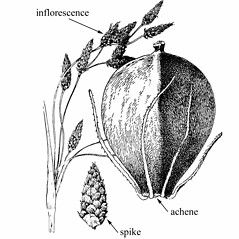 Flowers and fruits: Schoenoplectus heterochaetus. ~ By Julian A. Steyermark. ~ Copyright © 2019. ~ Allison Brock, Allison.Brock[at]mobot.org ~ Steyermark, Julian A. 1963. The Flora of Missouri. The Iowa State U. Press, Ames, IA. 1725pp.