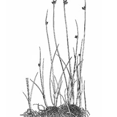 Plant form: Schoenoplectus pungens. ~ By Mary Barnes Pomeroy. ~ Copyright © 2020 Estate of Herbert Mason. ~ Any use permitted ~ Mason, HL. 1957. A flora of the Marshes of California. U. of California Press, Berkeley and Los Angeles, Library of Congress number 57-7960